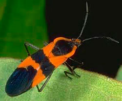 Milkweed_bug_University_of_Kentucky